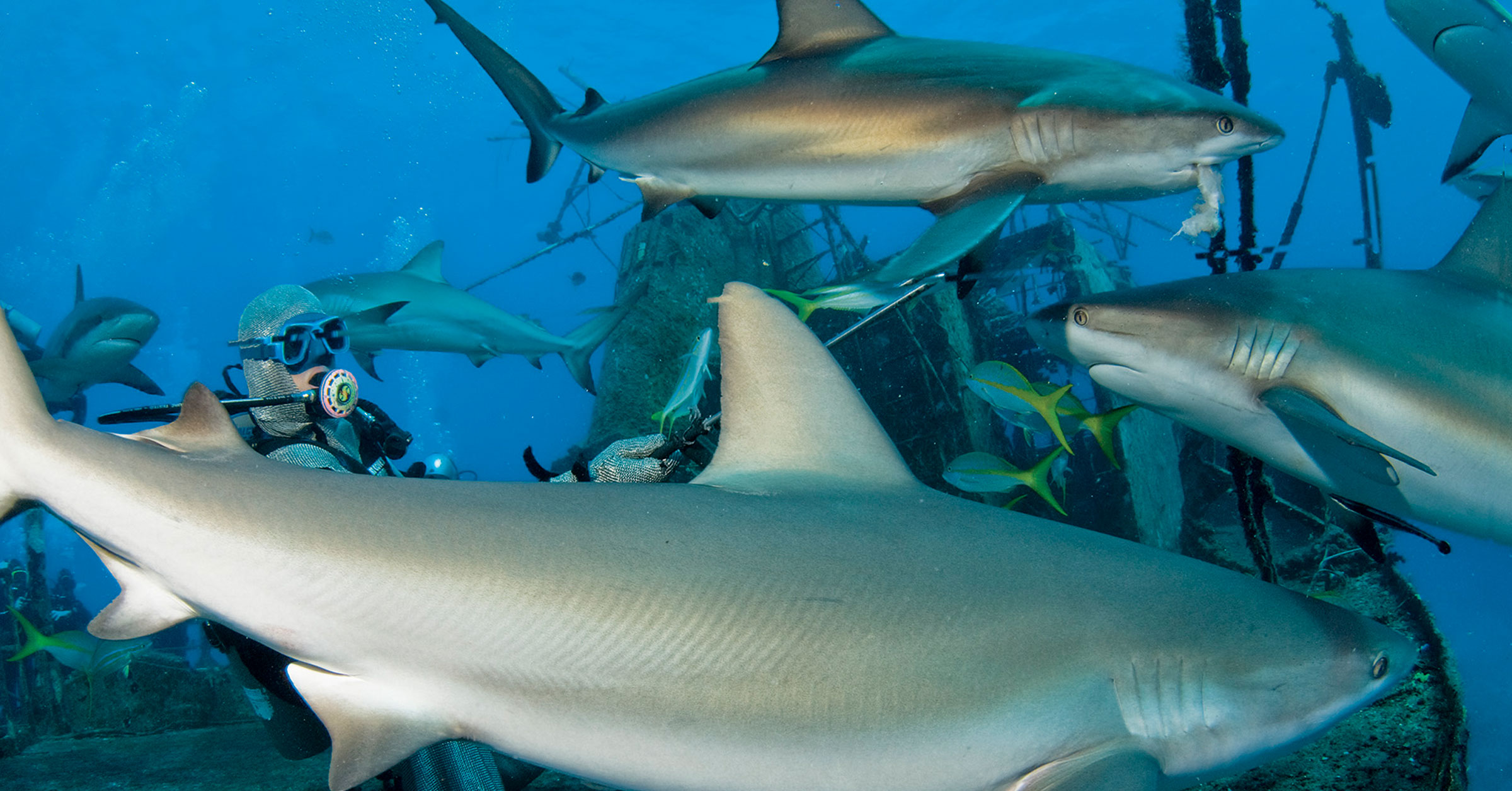 SHARK-FEEDING: right or wrong?