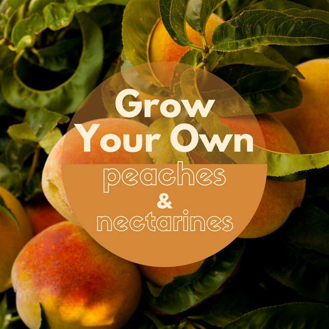 Grow Your Own Peaches and Nectarines
